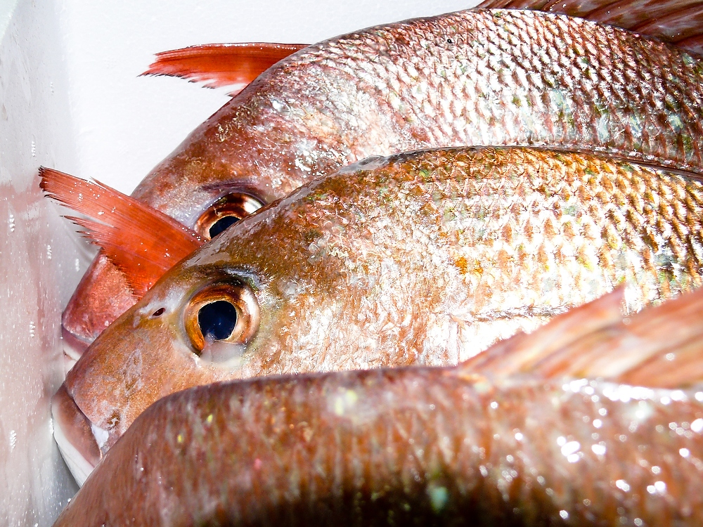 Snapper pagrus auratus wildfish export ltd for New zealand ling fish